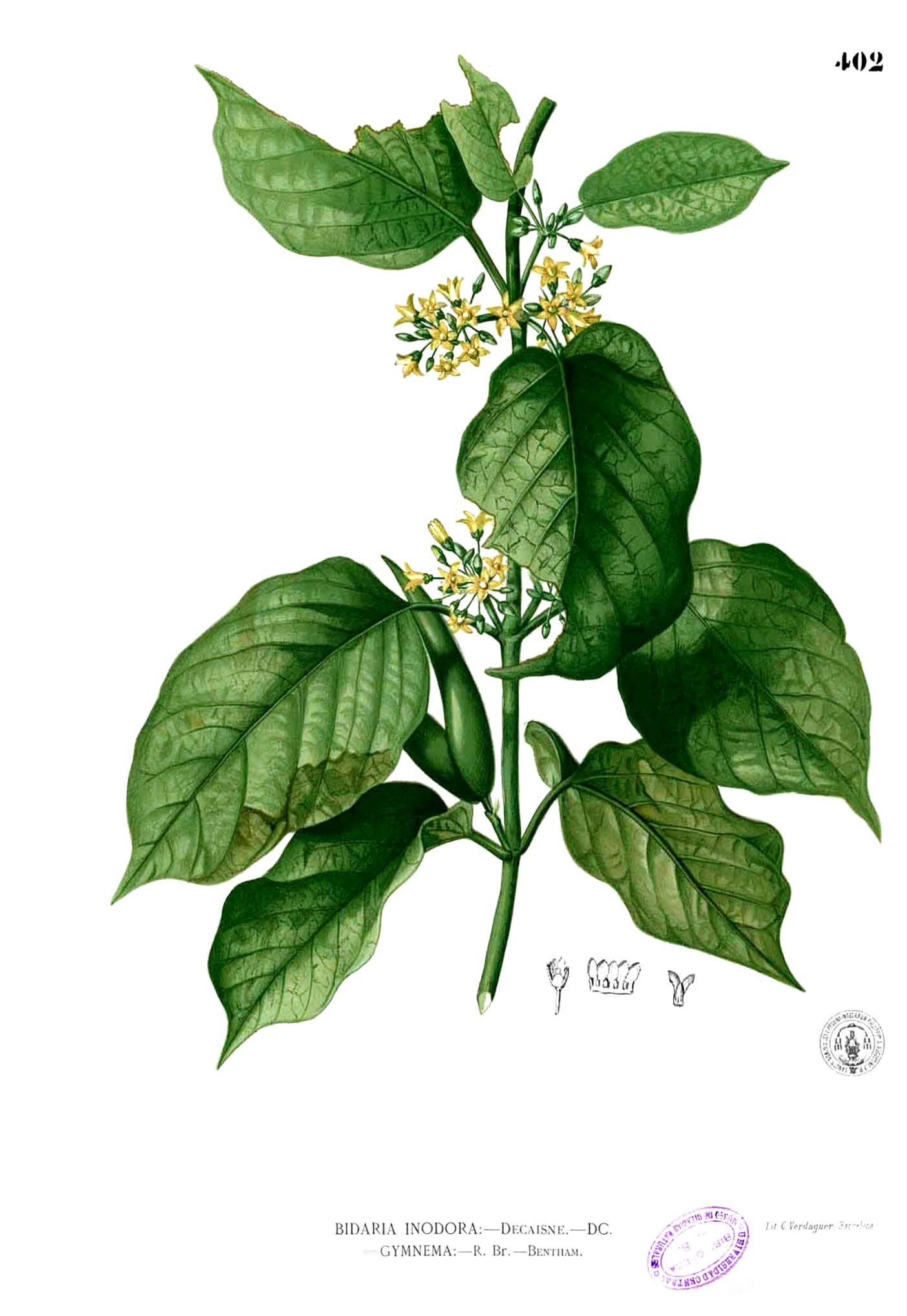 Экстракт листьев джимнемы обыкновенной 5 фотография